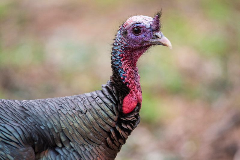 This close-up shows the amazing red and blue bumps on the head and neck of a turkey.  The colors can change very quickly, depending on the mood of the bird.	 That appendage sticking straight up from the beak is called a snood.  It can be raised like this or it can lie flat on the bird's beak.