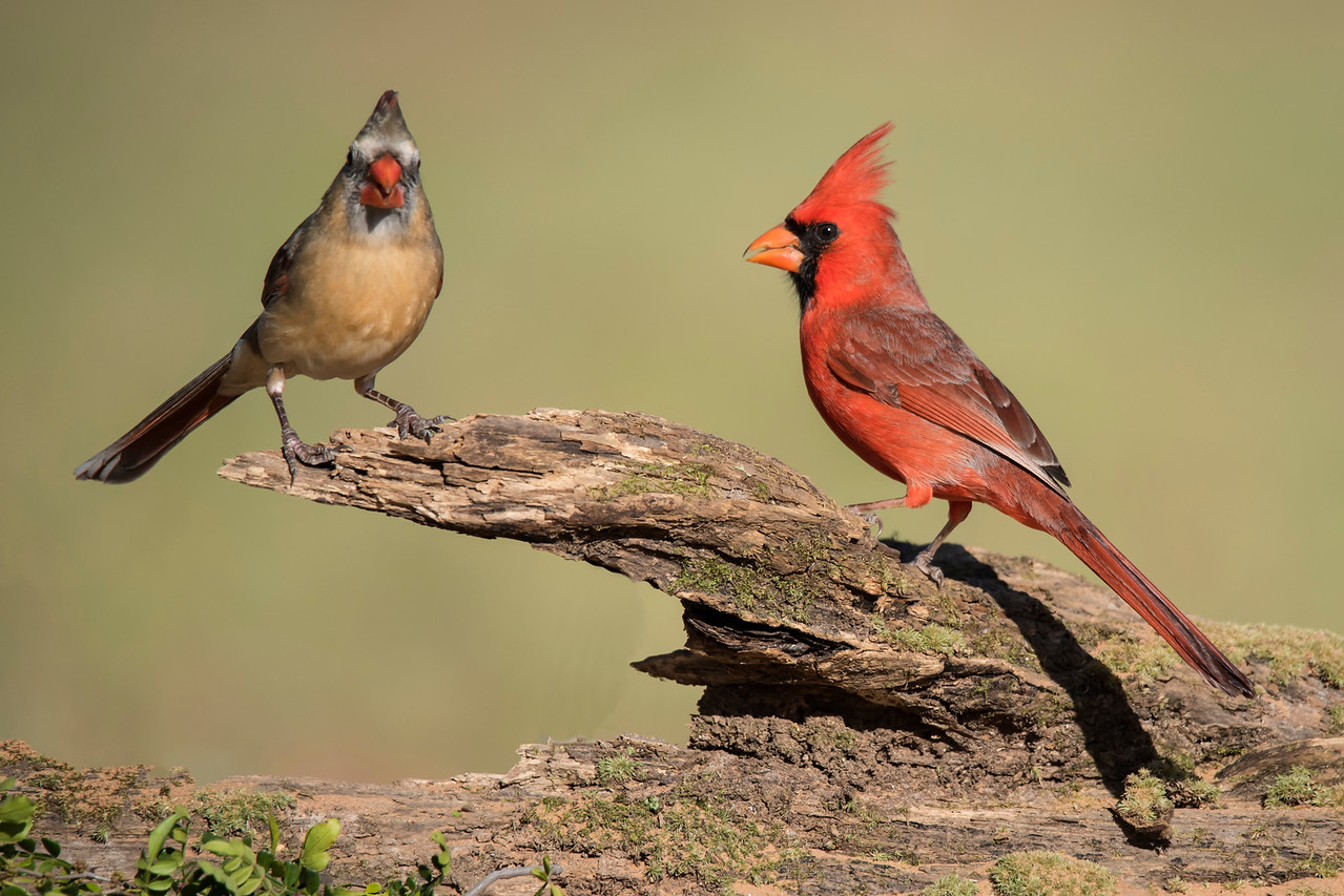 It can be difficult to get both a male and a female together in one shot but I got lucky this time.  Male Cardinals sing year-round but females only sing during courtship.