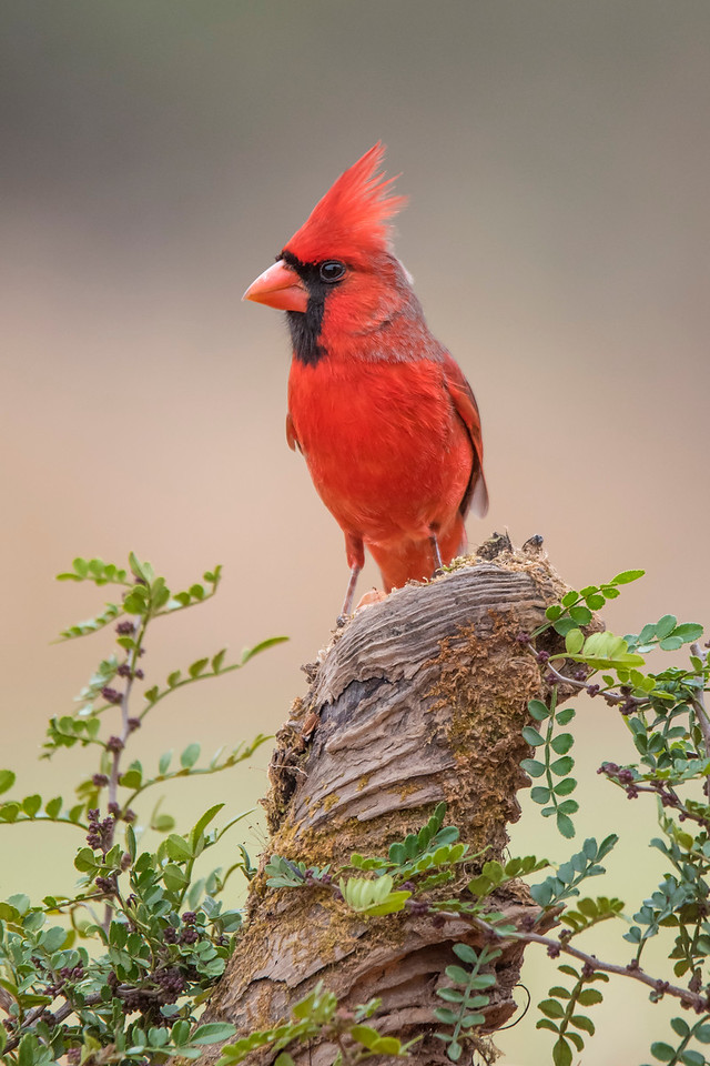 Northern Cardinals were one of the most numerous species seen at the Texas photo workshop I attended in February.  This male Cardinal landed on a very photogenic piece of wood.