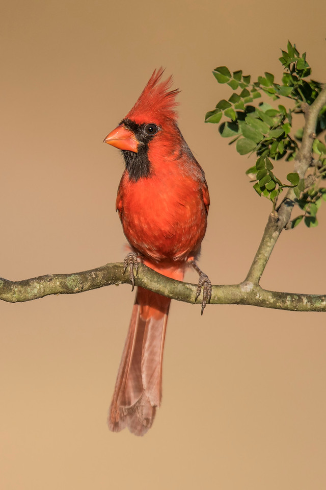 The Northern Cardinal is the state bird of seven states (Illinois, Indiana, Kentucky, North Carolina, Ohio, Virginia, and West Virginia.)