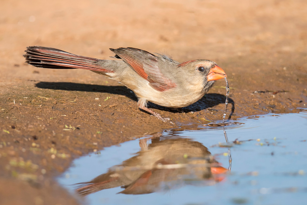 Here is a female Cardinal drinking from a pool of water.  It was taken at a shutter speed of 1/2000th of a second.  That speed allowed me to capture a stream of water as she lifted her head.  Also, look closely at her eye.  It's half covered by her nictitating membrane, a second eyelid that most birds have.  It moves vertically across the eye and is somewhat transparent.  Birds use this membrane when they need eye protection but still want to see clearly.