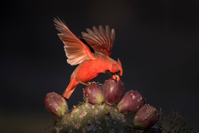 "This photo of a male Cardinal, in the light I described above, is one of my favorites from the whole workshop.<br /> <br /> I have more Cardinal photos in my ""Texas Photography Workshop"" gallery.  Here's a link to that gallery.   When you get there, click on the Cardinal photo.  <a href=""http://www.earlorfphotos.com/Trips/Texas-Photo-Workshop-Feb-2016/n-4pq9dr"">http://www.earlorfphotos.com/Trips/Texas-Photo-Workshop-Feb-2016/n-4pq9dr</a>"