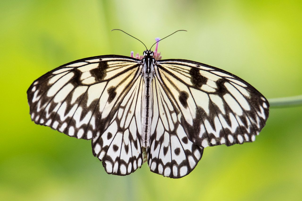 This is a Paper Kite (Idea leuconoe).  It is found in Southeast Asia and northern Australia.  It has a wingspan of 9.5 to 11.5 cm (3¾ to 4½ inches).  Both the butterfly and its larva are poisonous.