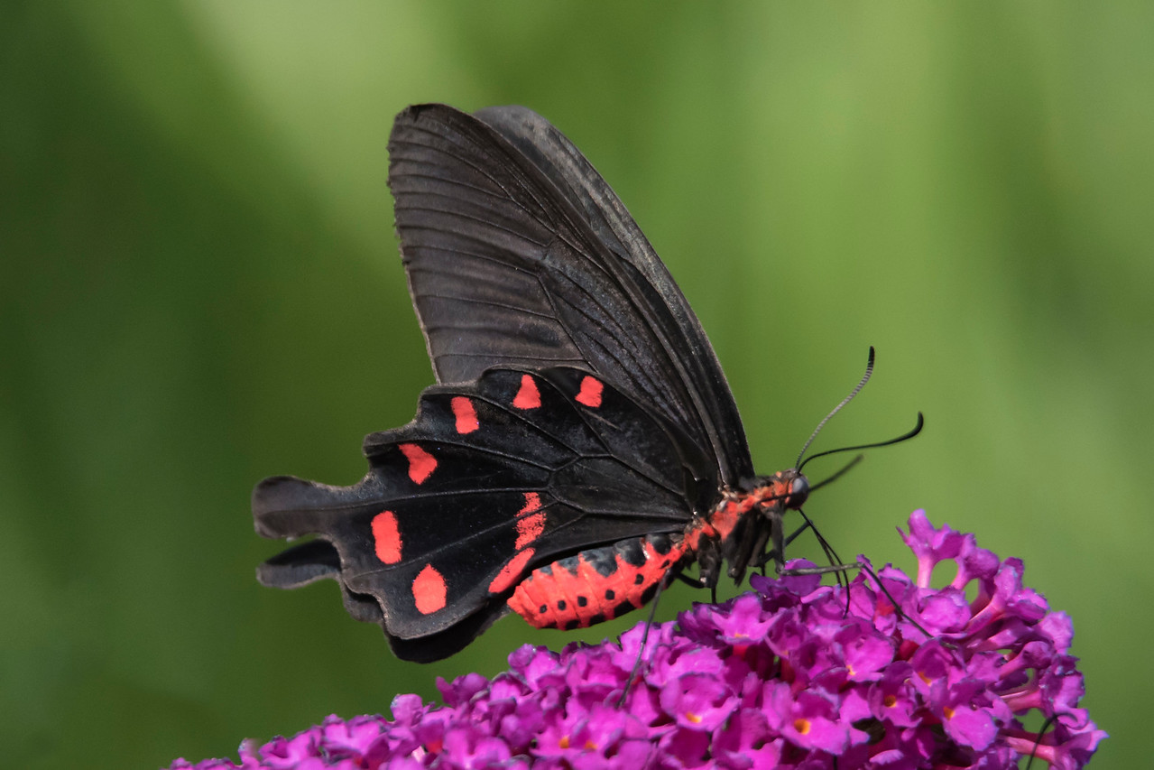 Another butterfly found in the Philippine Islands is the Pink Rose (Pachliopta kotzebuea).  It has a wingspan of 9 to 10 cm (3½ to 4 inches).