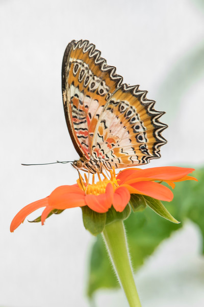 Here's another view of a male Leopard Lacewing.