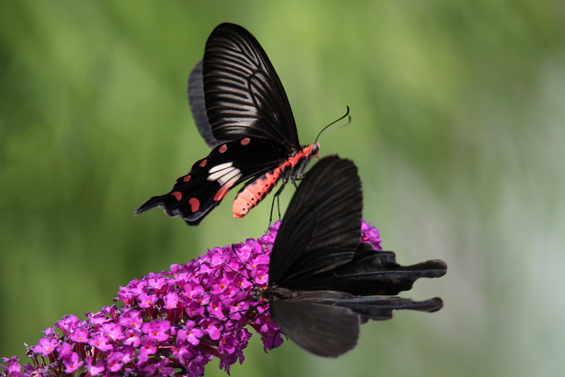 The male Great Mormon (Papilio memnon) is native to Southeast Asia.  It is a large butterfly with a wingspan of 12 to 15 cm (4¾ to 6 inches).  It is a common butterfly found in forest clearings and around human habitation.