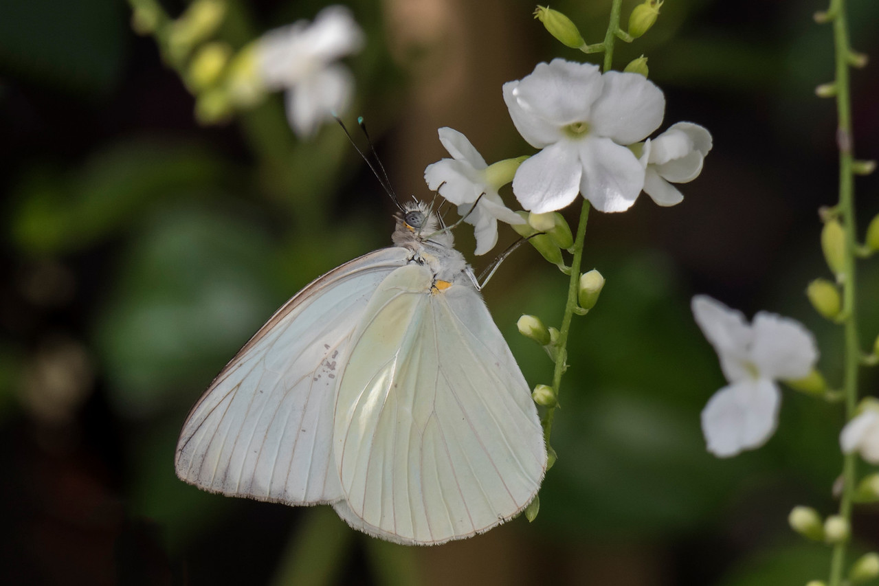 The Great Southern White (Ascia monuste) is found from the Atlantic and Gulf coast region of the United States south to Argentina.  It has a wingspan of 6.3 - 8.6 cm (2 1/2 - 3 3/8 inches).  Its caterpillar feeds on cabbage and radish plants and is sometimes considered a pest.