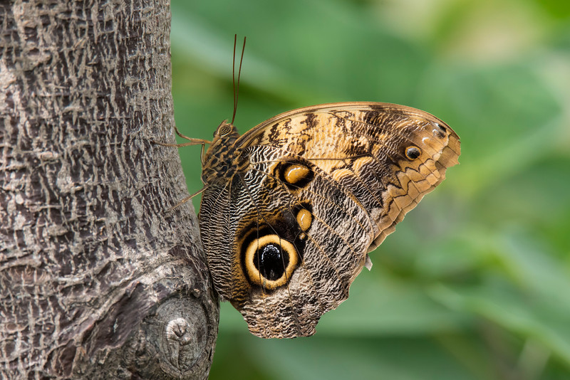 The Giant Owl (Caligo memnon) is another large butterfly with a wingspan of 11.5 to 14 cm (4½ to 5½ inches.  It is found in rainforests from Mexico to the Amazon.