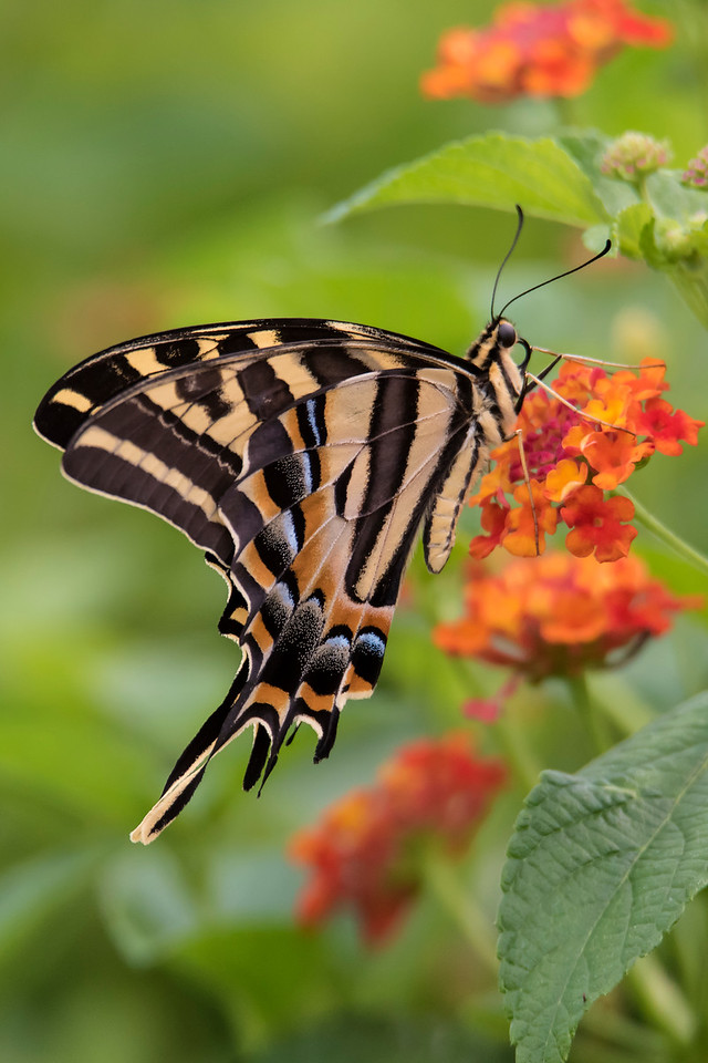 Here is another view of a Three-tailed Swallowtail.  It gives you a clear view of the three tails.