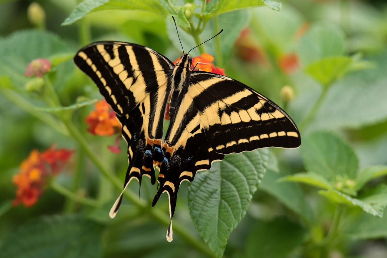 This is a Three-tailed Swallowtail (Papilio pilumnus).  It is found in Texas, Mexico, and Guatemala and has a wingspan of 8 to 10 cm (3 to 4 inches).  It looks like the many other swallowtail species but, as its name implies, it does have three tails (on each hind wing).