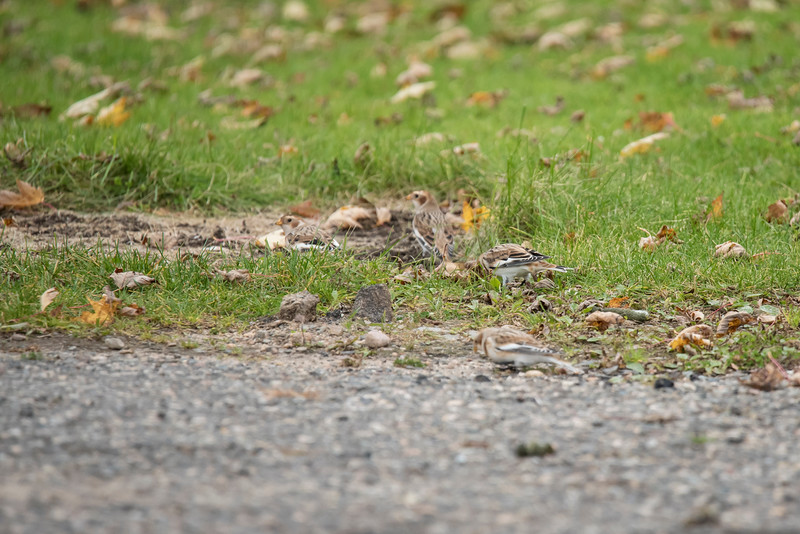 The brown, white, and black pattern of these birds allows them to stay well hidden in the grass among the fallen leaves.  This photo was taken at Trout Lake near Bovey, Minnesota.  There are 4 Snow Buntings hidden in this photo.  Can you find all of them?