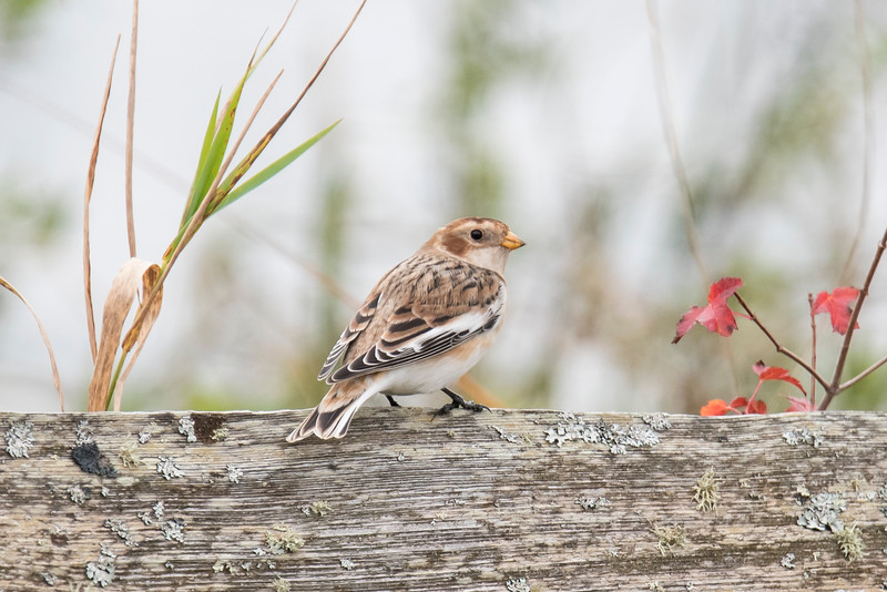 Snow Buntings usually remain on the ground so I was pleased when this one hopped up on a fence at Trout Lake and posed near some colorful leaves.