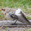 This Snow Bunting spread its wing and provided a good look at how much white is hidden when the wing is folded.  In flight, this appears as a large white patch on the wing.