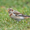 Snow Buntings nest farther north than any other North American land bird.  They prefer rocky crevasses above the Arctic Circle.  We see them in winter when they migrate to the Midwestern plains.  They have recently molted into this colorful non-breeding plumage.  I saw several flocks of them when we were in Grand Marais, Minnesota.
