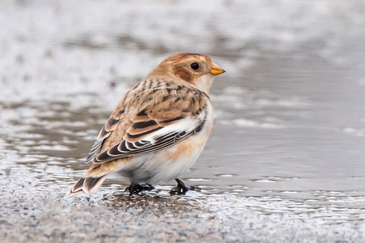 The Snow Bunting is black and white in breeding plumage.  To accomplish this transition, however, they don't get a new set of feathers.  The brown color is just a fringe on the edge of each black or white feather.  That is best seen on the wing feathers near the middle of this bird's back.  The brown fringe wears off during the winter.  That leaves the back and the rest of the wings completely black except for the white wing patch.  The brown also wears off the head, rump, and underside leaving them all white.  The bill changes to all black for the breeding season.