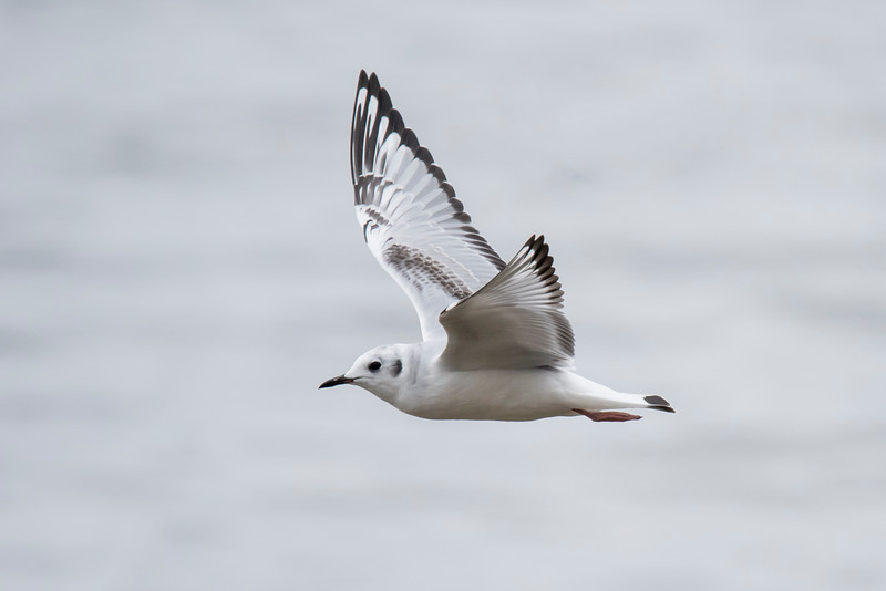 Here's another look at the beautiful wing pattern on a juvenile Bonaparte's Gull.