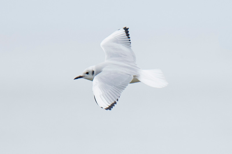 When seen in flight, the adult Bonaparte's Gull shows a completely white tail and black tips on the outer wing feathers.