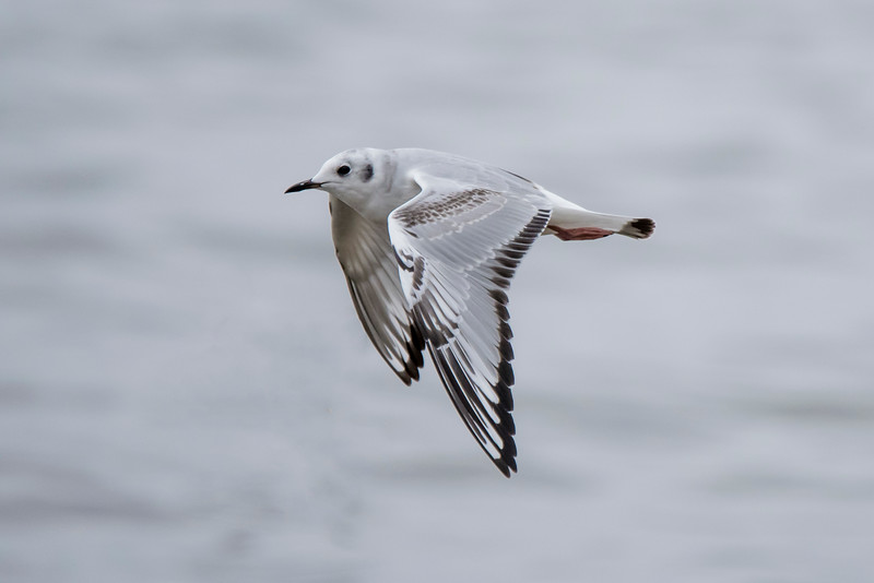 A juvenile Bonaparte's Gull in flight shows an interesting feather pattern.  It has more extensive black on the feather tips and a brown spotted pattern across the wing.  This photo and the next one were taken along the northeastern shore of Lake Winnie in Itasca County, MN.