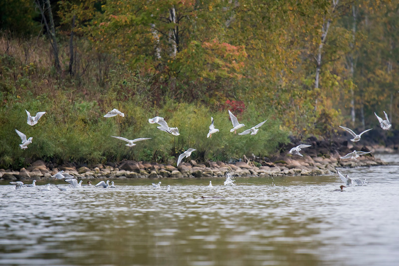 At the end of September, my friend Shawn Conrad and I saw several groups of Bonaparte's Gulls feeding along the shore of Lake Winnibigoshish (often referred to as Winnie.)  These birds are migrating to their winter home along the coasts of the United States.  Most people are surprised to learn that these gulls nest in trees.  They choose conifer trees near boreal lakes and marshes in Alaska and across the middle of Canada.  This photo and the next two were taken at Denny's Resort in Cass County, MN.
