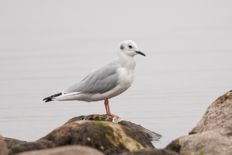 This is an adult Bonaparte's Gull in non-breeding plumage.  During the breeding season it would have a totally black head.  At 13½ inches long, it is one of our smallest gulls.