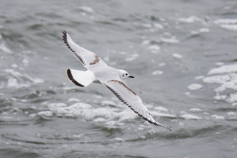 The Mississippi River flows through Lake Winnie; there is a dam at the outlet from the lake.  Bonaparte's Gulls were flying around the output side of the dam, probably picking off fish that were stunned after going through the dam.  Notice the black tip of the tail compared to the entirely white tail of the adult shown above.