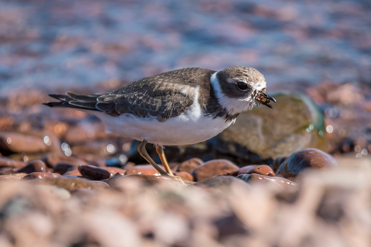 This plover just picked up a something to eat.