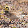 During our fall trip to the North Shore, I saw several species of migrating birds.  This Horned Lark was photographed at Taconite Harbor.  Horned Larks are found year-round over most of the United States.  Some of them go to the northern parts of Canada to nest in the summer.  They are strictly open-field birds, however, so they don't nest in northeastern Minnesota where it is mostly wooded.  Therefore, when I see them along the North Shore, I can be pretty sure they are migrating.