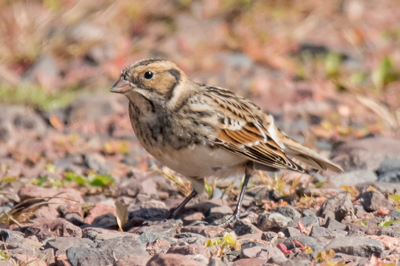 Another bird of the open fields is the Lapland Longspur.  They nest in the far northern treeless areas of Canada.  Winter finds them all across the Great Plains in the United States.  I found this Longspur at Taconite Harbor with the flock of Horned Larks.