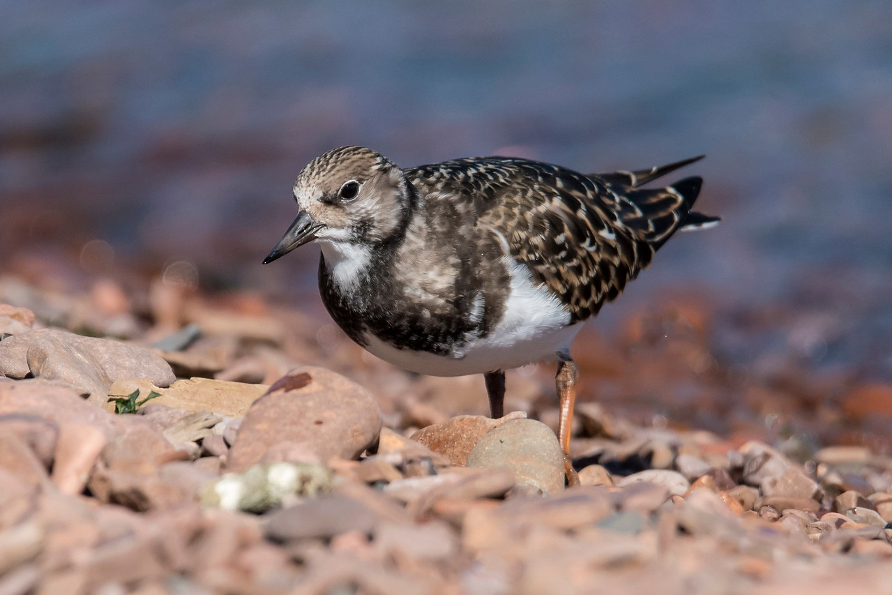"""There was also a Ruddy Turnstone at the Grand Marais Harbor.  Like the Sanderling, it nests in the far north and spends winters along our coasts.  It's a little bigger than a Sanderling; about 9½ inches long.  This bird is already in winter plumage.  Click on this link to see its colorful harlequin summer plumage.  <a href=""""http://www.earlorfphotos.com/Birds/Birds-ST/Turnstones/i-zzSjXVd/A"""">http://www.earlorfphotos.com/Birds/Birds-ST/Turnstones/i-zzSjXVd/A</a>"""