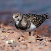 "There was also a Ruddy Turnstone at the Grand Marais Harbor.  Like the Sanderling, it nests in the far north and spends winters along our coasts.  It's a little bigger than a Sanderling; about 9½ inches long.  This bird is already in winter plumage.  Click on this link to see its colorful harlequin summer plumage.  <a href=""http://www.earlorfphotos.com/Birds/Birds-ST/Turnstones/i-zzSjXVd/A"">http://www.earlorfphotos.com/Birds/Birds-ST/Turnstones/i-zzSjXVd/A</a>"