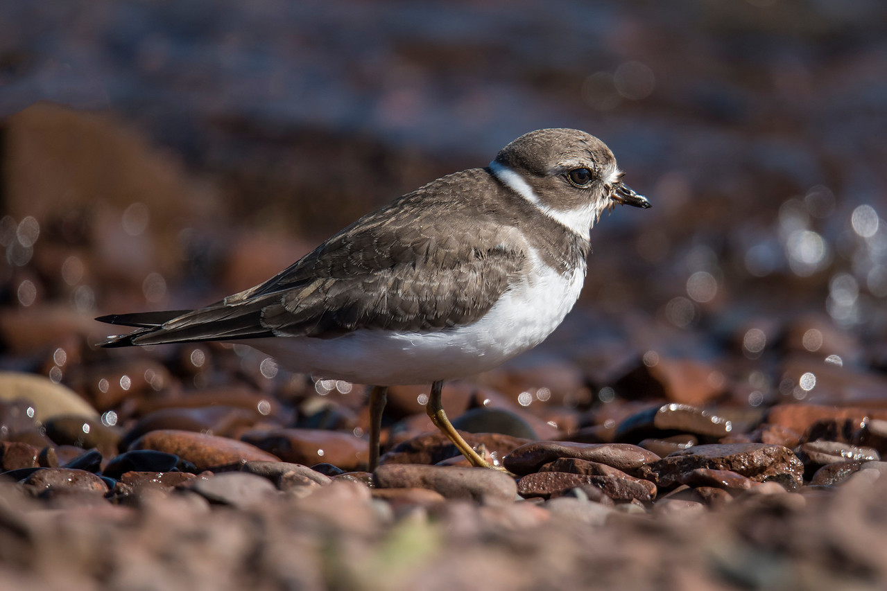 The third type of shorebird I found at Grand Marais was a Semi-palmated Plover.  It nests all across Alaska and northern Canada.  This little plover, 7 inches long, doesn't nest on the tundra, however.  It prefers gravel bars along rivers or ponds.