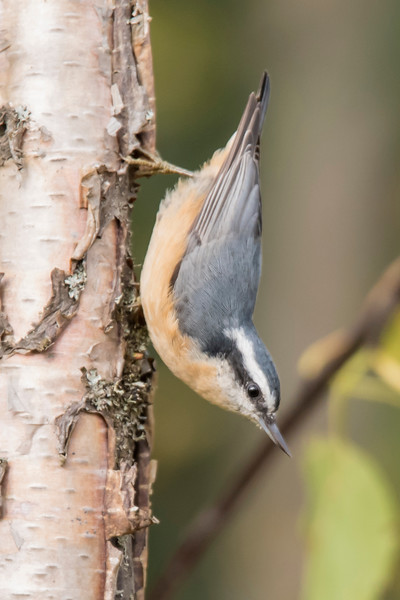 Red-breasted Nuthatches are pretty common in the woods along the North Shore.  This photo was taken on the Sawbill Trail.  Notice that the feathers on top of the head and those on the bird's back are the same blue/gray color.  That tells you it's a female.
