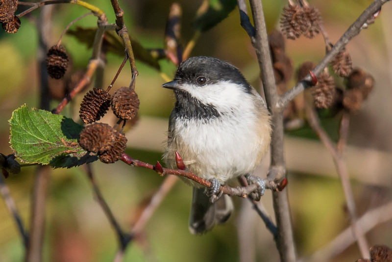 This Black-capped Chickadee was photographed at Taconite Harbor on our recent trip to the North Shore.  It's perched in an Alder bush and those are Alder cones to the left of the bird.