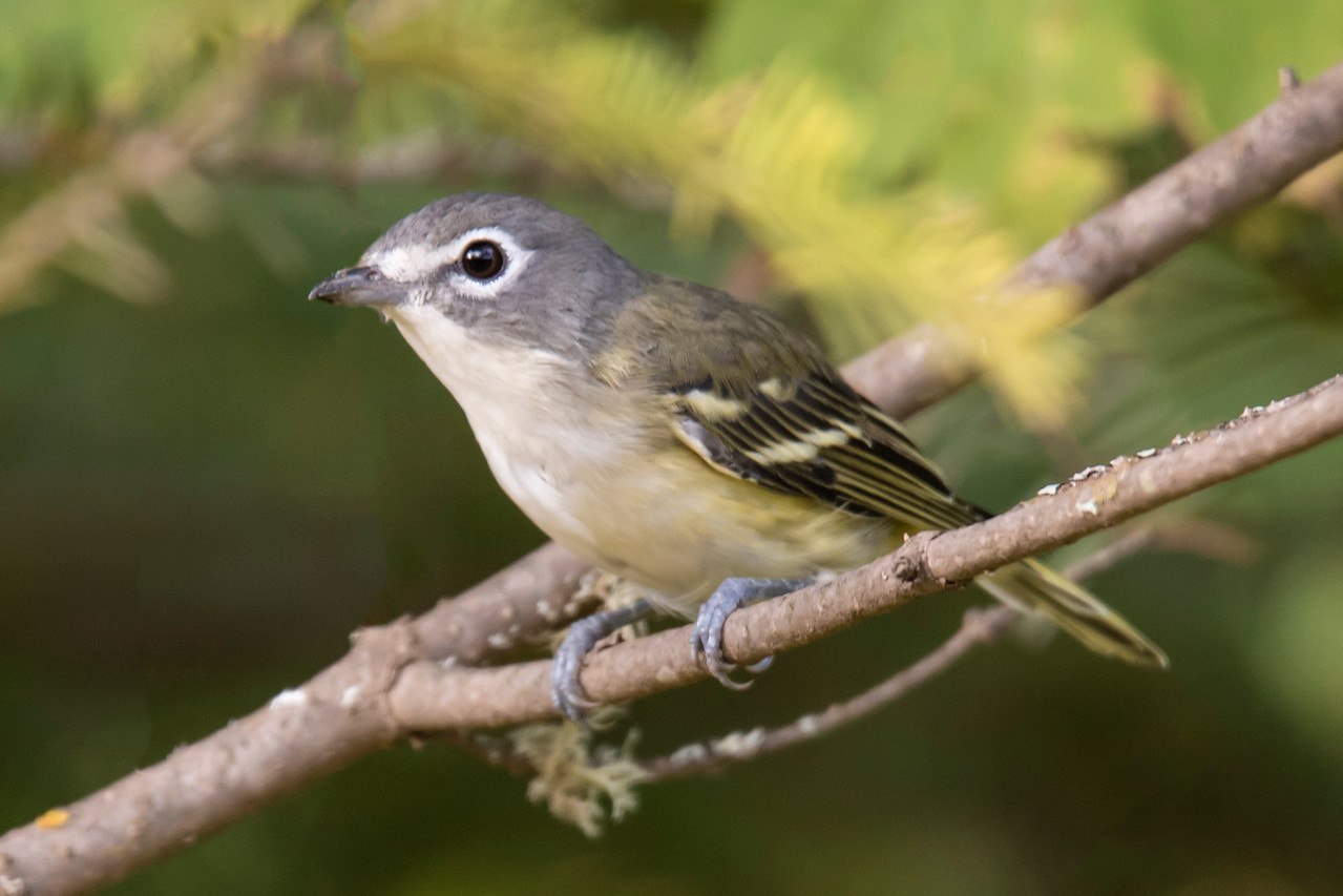 The birds pictured above are all year-round residents of northeast Minnesota.  This Blue-headed Vireo nests in the woods along the North Shore but migrates south for the winter.