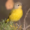 Most warblers have already migrated out of Minnesota by the end of September.  However, this Nashville Warbler was not ready to leave yet and was photographed on the Sawbill trail.
