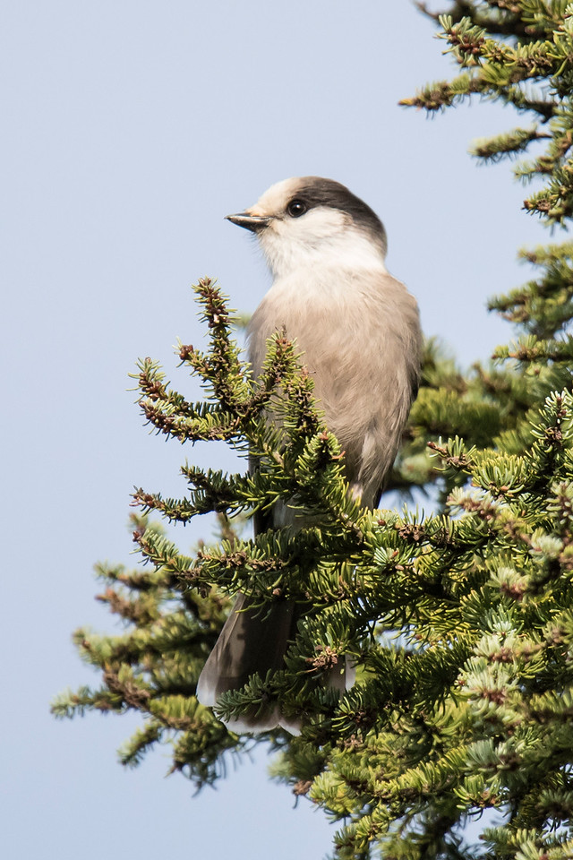 I always enjoy seeing Gray Jays when I go to the North Shore.  This one was on the General Grade Road in Lake County.
