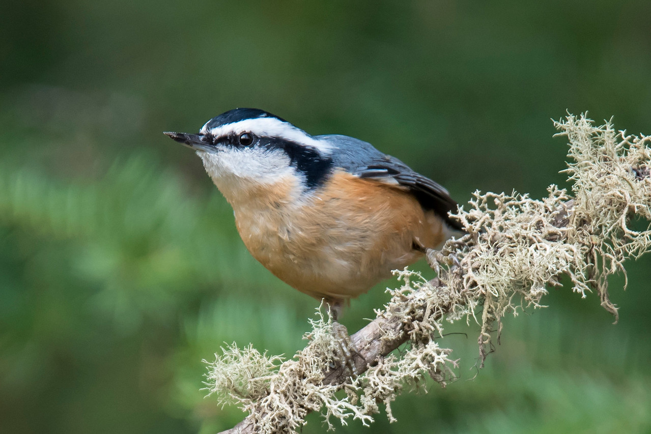 Here's a male Red-breasted Nuthatch, also photographed along the Sawbill Trail.  The feathers on top of his head are black.