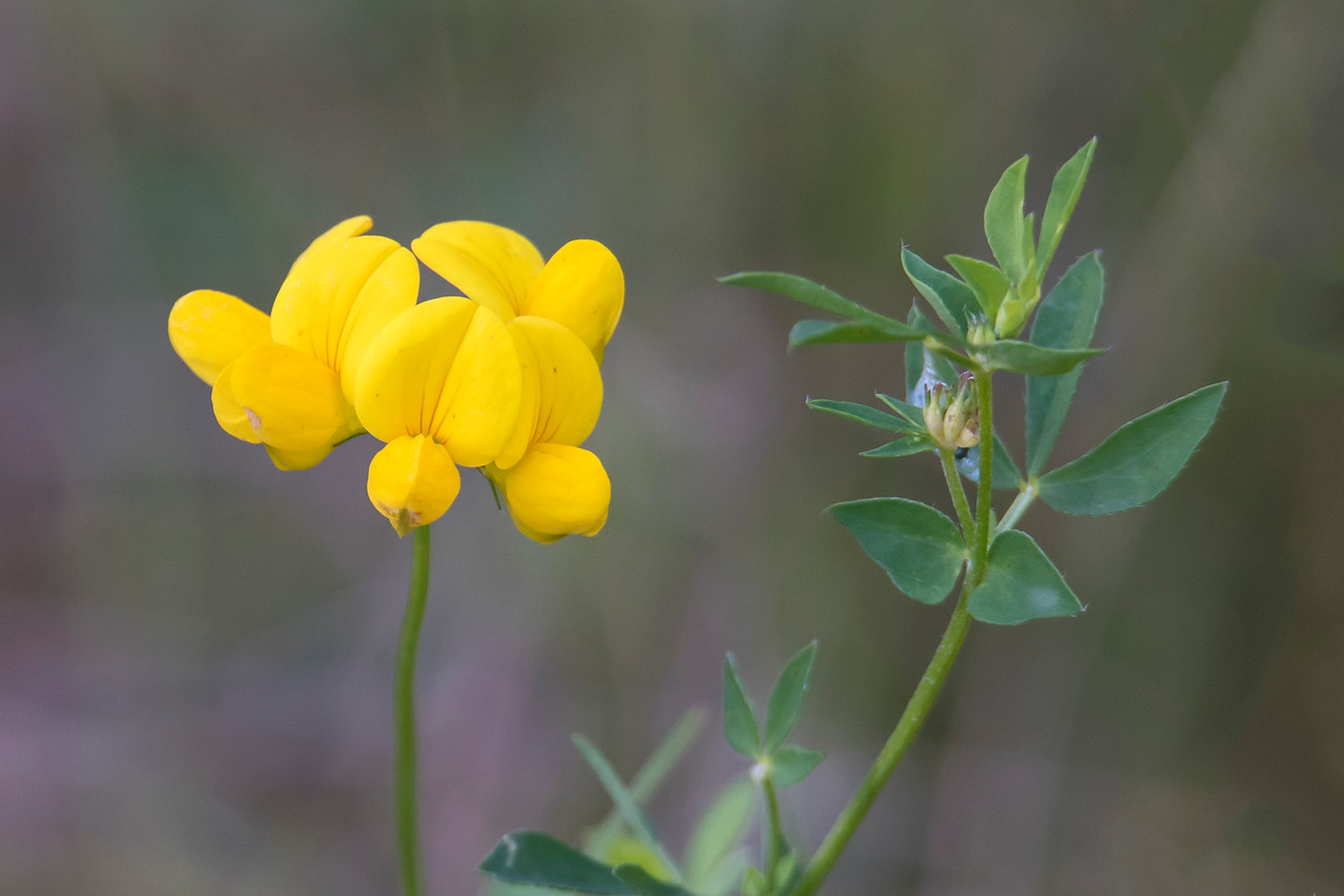 Birdsfoot Trefoil is a ground cover useful in controlling erosion.  It is a popular food for Canada Geese and Deer.