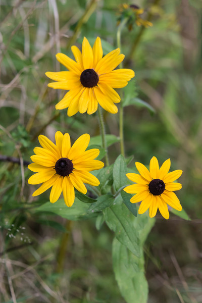 Diana and I took our annual fall trip to the North Shore during the last half of September.  We found some wildflowers still blooming at Gooseberry Falls State Park.  This is a group of Brown-eyed Susan's.  Goldfinches and House Finches are especially fond of the seeds.