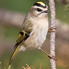 Others nest in the boreal forests of Canada and winter over most of the United States