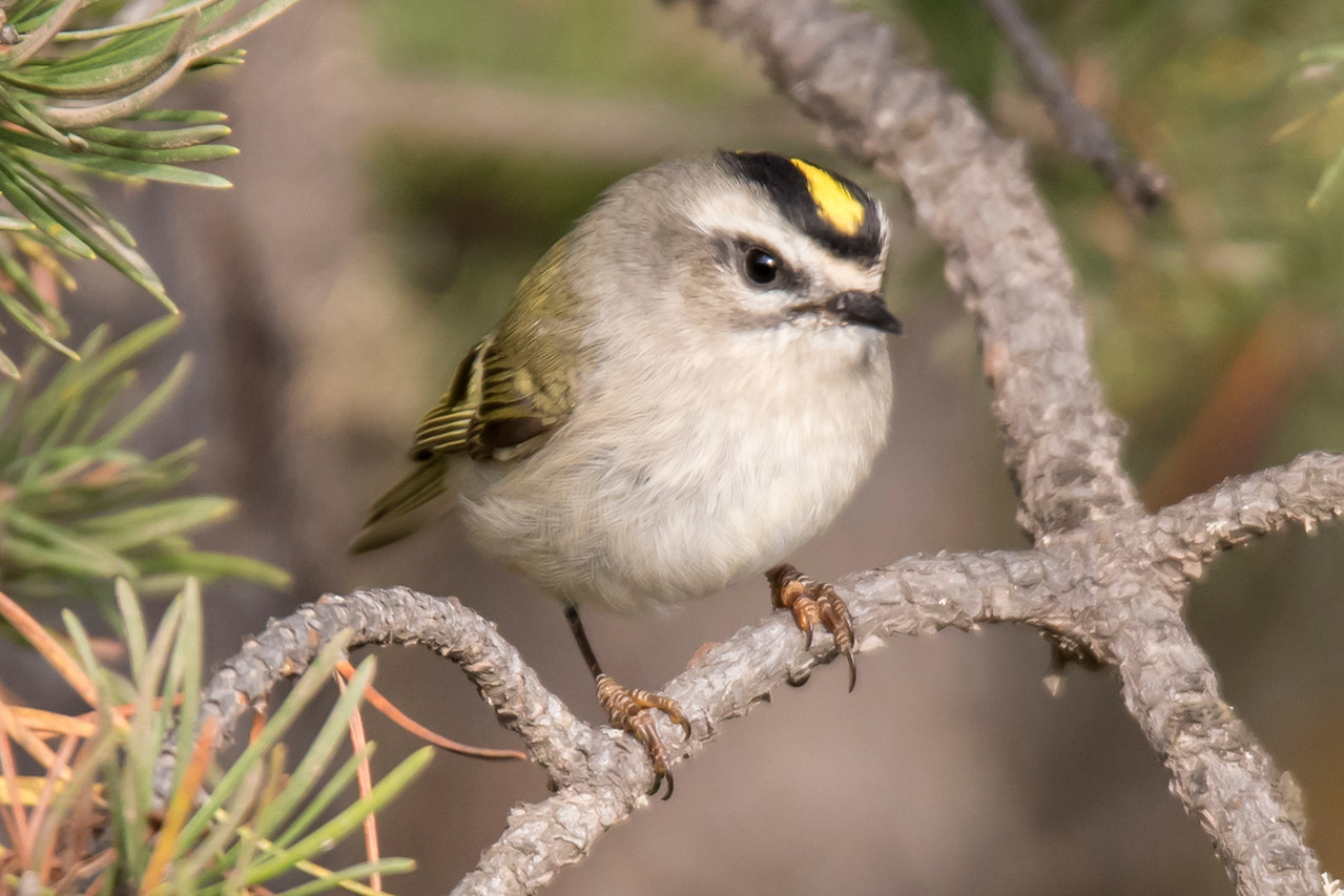 From September 16-23, Diana and I made our annual fall trip to the North Shore.  Fall bird migration was in full swing and Golden-crowned Kinglets were everywhere.  I saw so many of them and was able to get lots of good photos.  Here are the best ones.