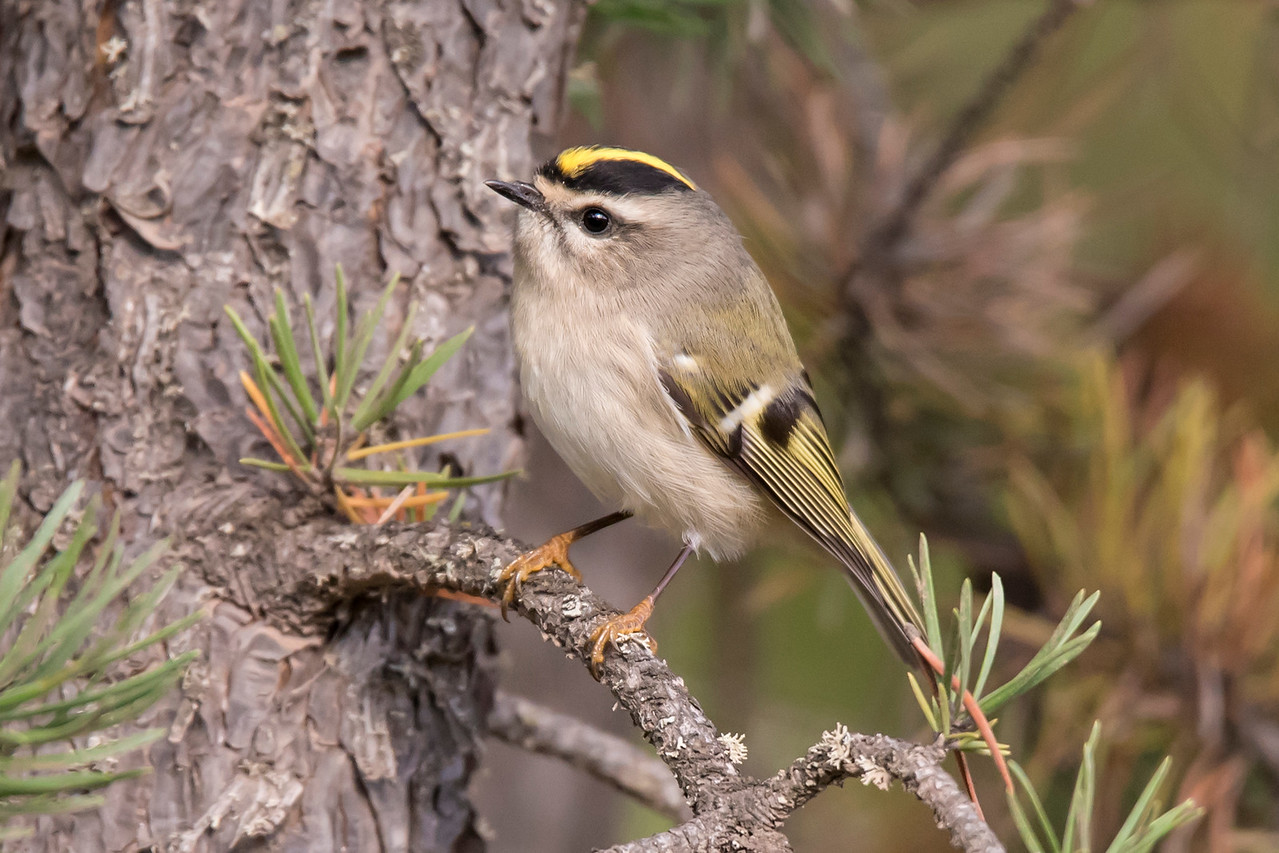 """These birds are really small, only 4 inches long, and they weigh less than ¼ ounce.  The tiny beak, perky little eyes, golden stripe on the head, and tan feet just seem to shout """"ADORABLE."""""""