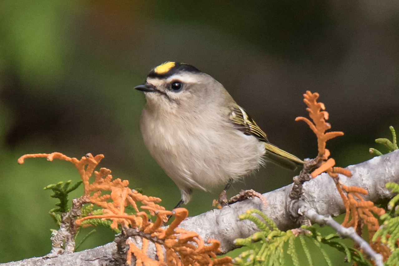 Golden-crowned Kinglets are year-round residents of the mountainous parts of the United States.