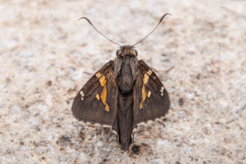 Here's a photo of the skipper from the top.  Notice the spoon-shaped ends on its antenna.  This is characteristic of the group of butterflies that are called skippers.