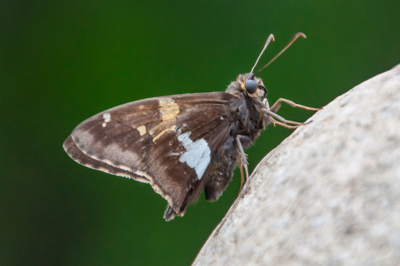 I haven't taken many butterfly photos this year but this Silver-spotted Skipper posed on a big rock in our yard and I couldn't resist.  Even though it's fairly small (wingspan of 1¾ to 2 inches) it is the largest skipper in our area.