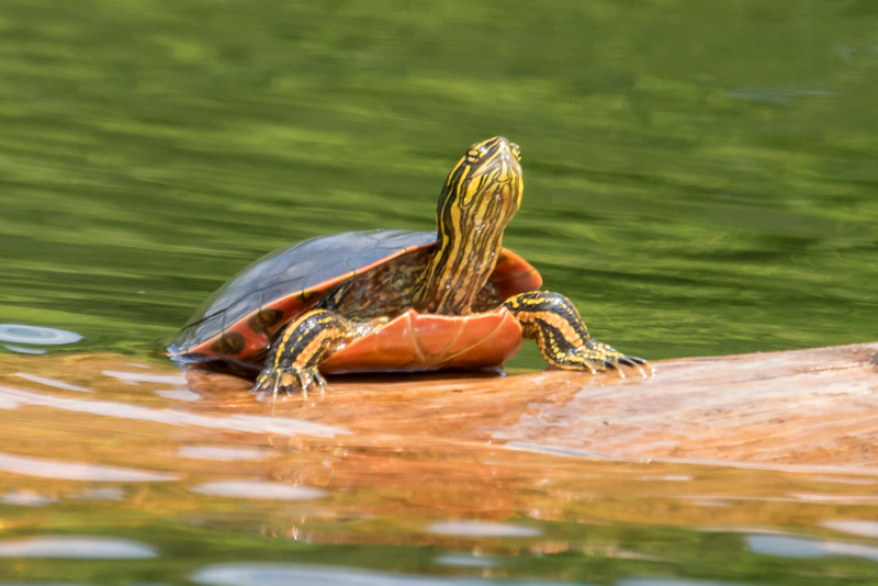 Here's a close-up photo of a Painted Turtle.  Notice the long claws and the colorful patterns on its shell, legs, and neck.