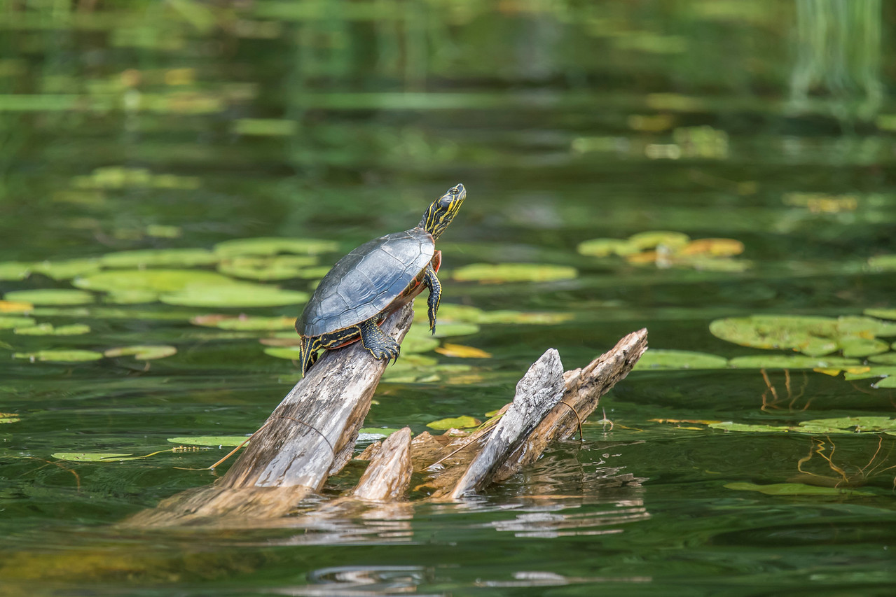 We have lots of Painted Turtles in our lake.  During the day, they like to climb onto submerged tree limbs that stick out of the water.  That allows them to soak up heat from the sun.  This one looks like it's at a pretty steep angle.  Those back claws must be gripping the log tightly to keep it from slipping off.