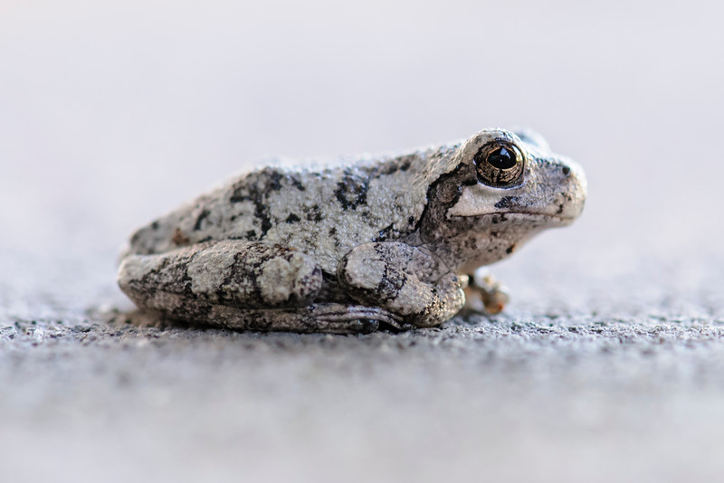 This Gray Tree Frog was resting on the balcony of a neighbor at our apartment building in Shoreview, MN.  This small frog, 1¼ to 2 inches long, is common in Minnesota.  It is usually found near a wetland and we do have a small pond behind our building.