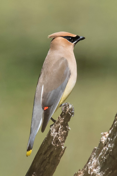 Here's a side view of a Cedar Waxwing on another perch.  Notice the small red tips on the wing feathers.  This supposedly reminded someone of sealing wax and hence the name waxwing.