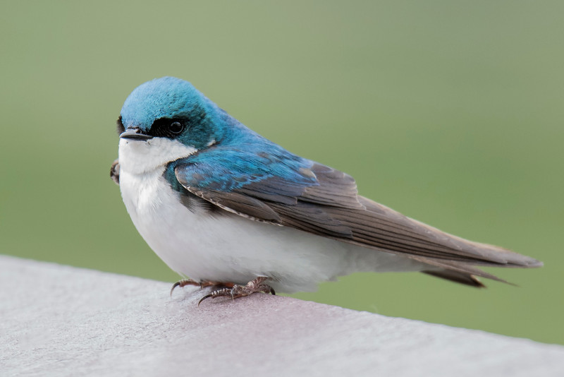 Tree Swallows are also abundant at Silverwood Park.  They have long pointed wings but do not have extended tail feathers.  Both swallow species are insect eaters.  The insect population is much lower now than it was in the summer so most swallows have already left for their winter home in the tropics.